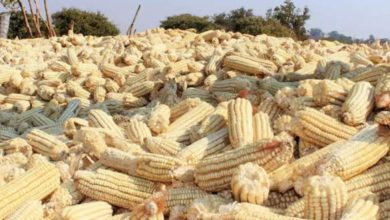 Photo of SCANTY MAIZE SUPPLY TO TRIGGER HIGH MEALIE MEAL PRICE